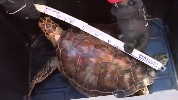 В США спасли 20 замерзших черепах