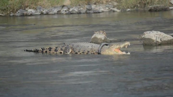 Два года крокодил с шиной на шее задыхается, но не подпускает к себе людей (Видео)