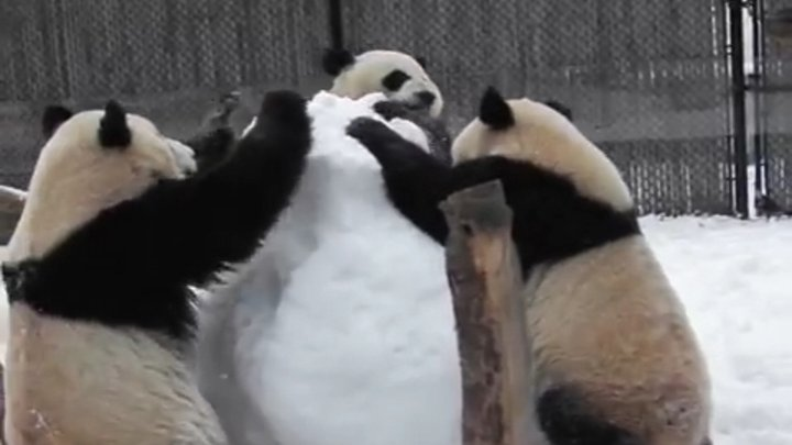 В зоопарке Торонто три панды атаковали снеговика (видео)
