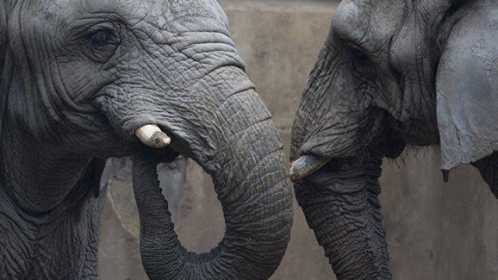 Учёные: слоны скрещивались с мамонтами