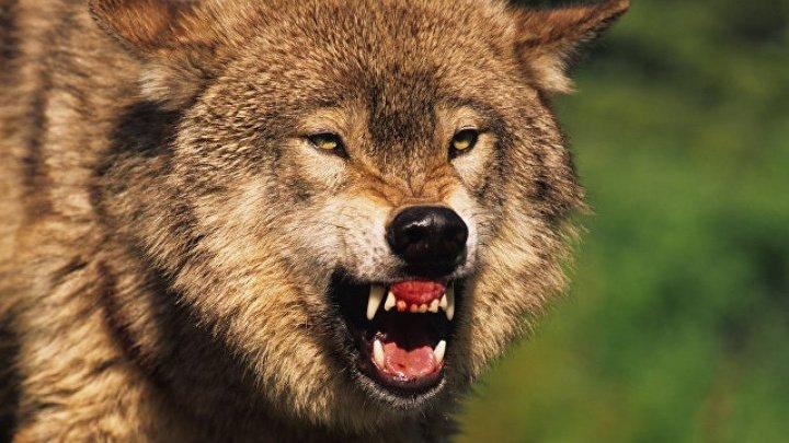 Стая волков растерзала стадо коз в Чимишлии: шокирующие фото