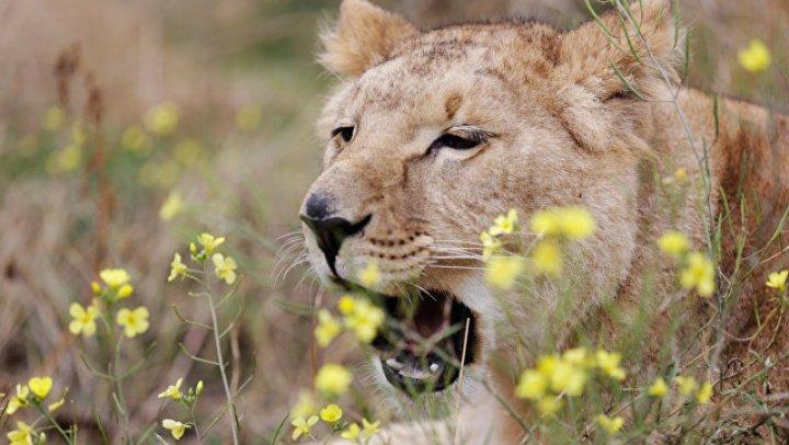 В ЮАР львица загрызла 22-летнюю постоялицу отеля