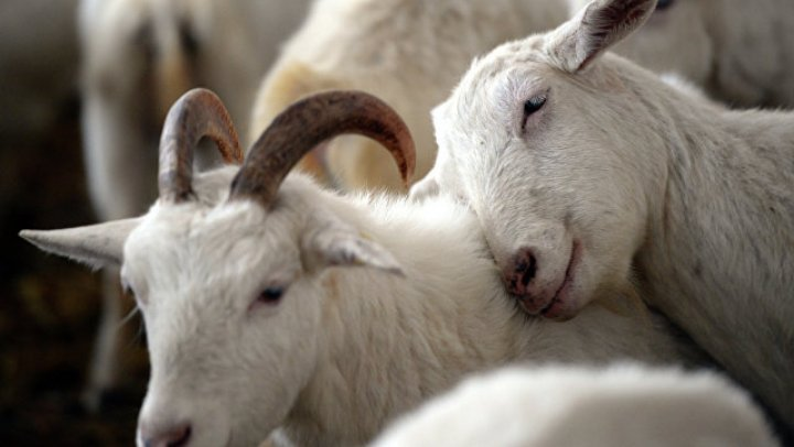 В Китае задержали 26 человек за контрабанду коз