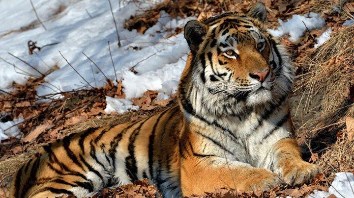 В Шотландии фермер вызвал полицию из-за игрушки в виде тигра