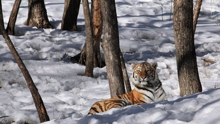 В Приморье поймали охотившуюся на собак молодую тигрицу
