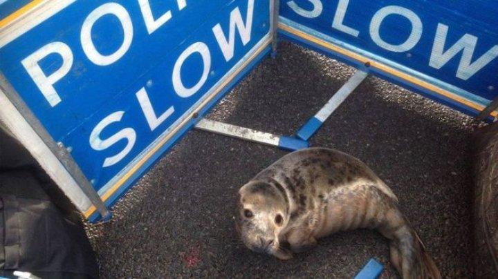 Тюлененок стал причиной пробки на дороге в Шотландии