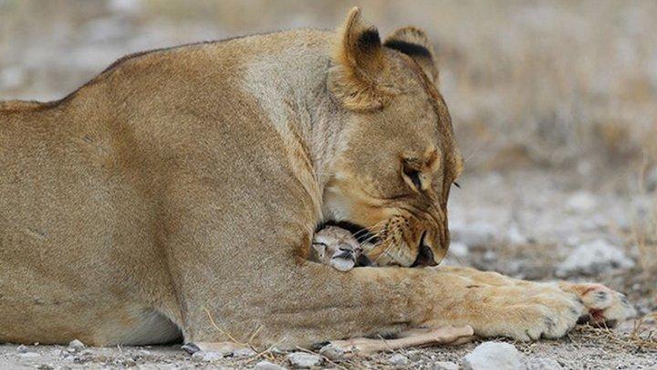 Потерявшая детенышей львица удочерила антилопу