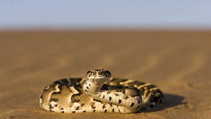 В Малайзии от укуса кобры умер знаменитый «укротитель змей»