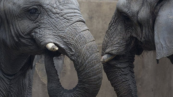 В Малайзии слон забрел в школьную столовую в поисках еды (видео)