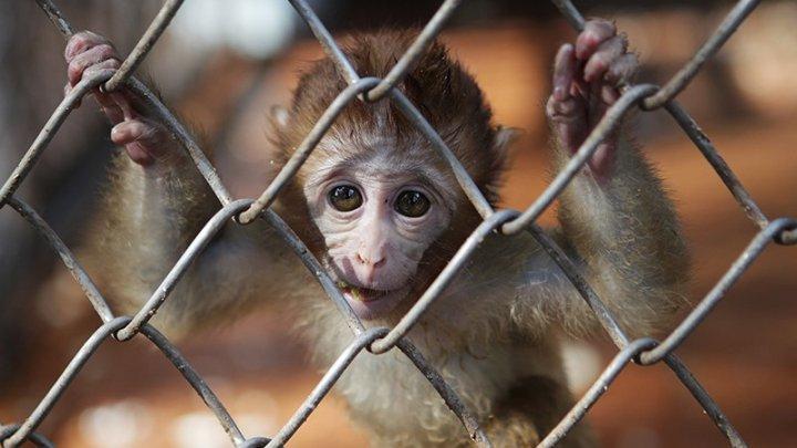 Продавщица провела сбитой обезьяне успешное кесарево сечение: видео (18+)