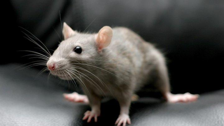 Слепым мышам вернули зрение с помощью золотых наночастиц
