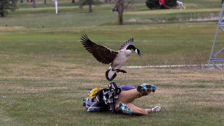 В Мичигане гусь напал на гольфиста: фото