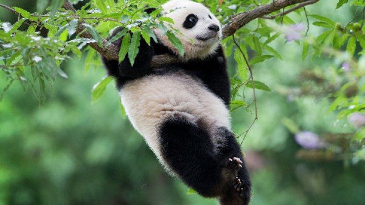 Ученым удалось скрестить орангутанга с пандой