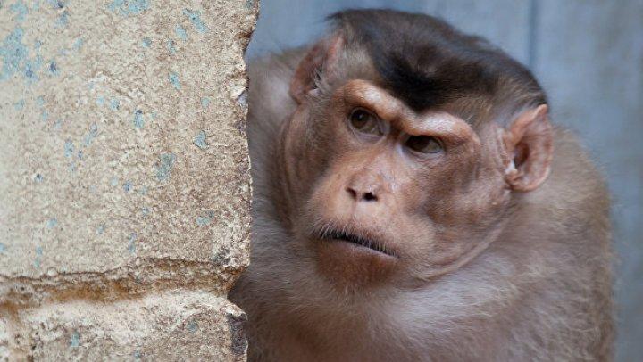 В Индии полицейские ищут обезьяну, которая похитила и утопила младенца