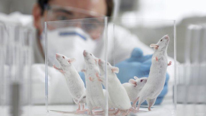 Ученые пересадили мыши мини-мозг из человеческих клеток