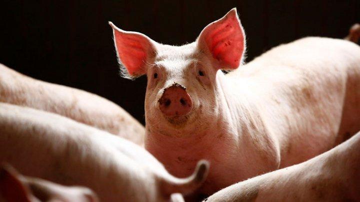 Ученые заставили мозг свиньи прожить вне тела 36 часов