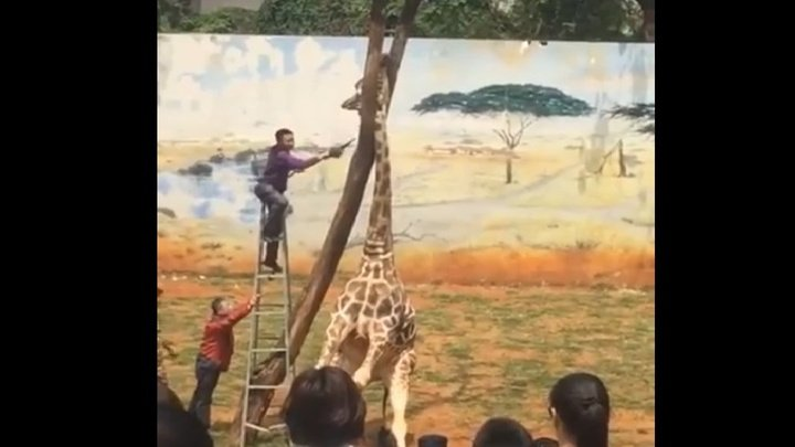 В китайском зоопарке нелепо и трагически погиб жираф (видео)