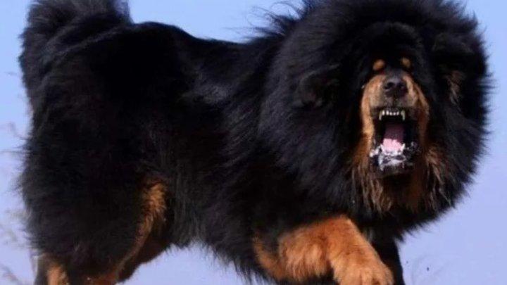 Китаянка купила щенка тибетского мастифа, а через 2 года поняла, что это медведь