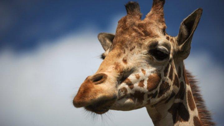 Жираф одним ударом убил известного режиссера