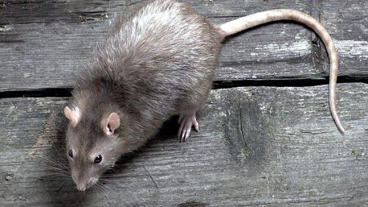 Крыса вылезла из унитаза жительницы Новороссийска (видео)