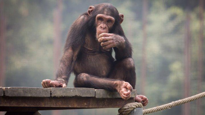 Человеческие кровати грязнее лежанок шимпанзе