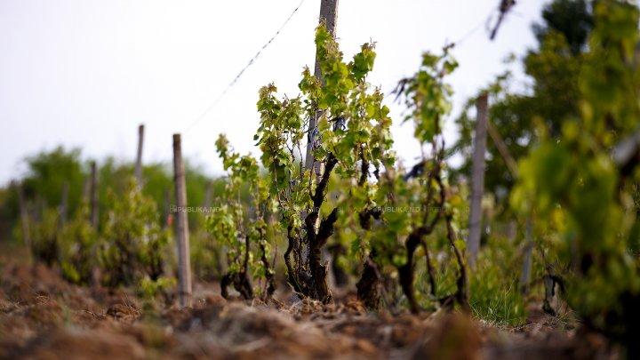 В Молдове внедряют новую технологию восстановления больных саженцев винограда