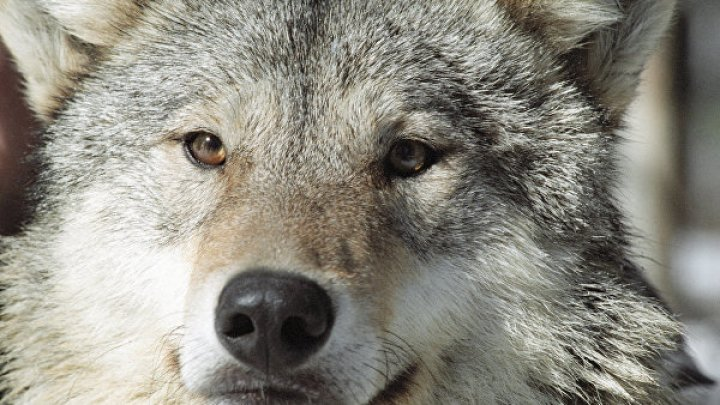 Возможность побыть волком: в Беловежской пуще открыли необычную вакансию