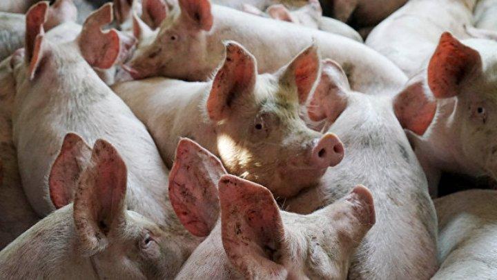 В Измаиле объявили карантин из-за вспышки чумы свиней