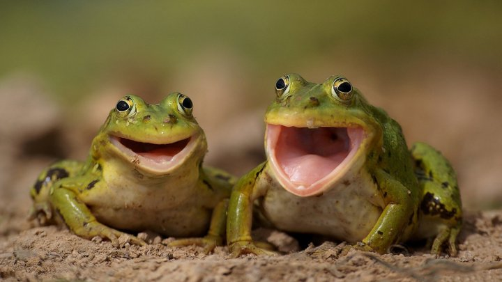 В Индии поженили двух лягушек