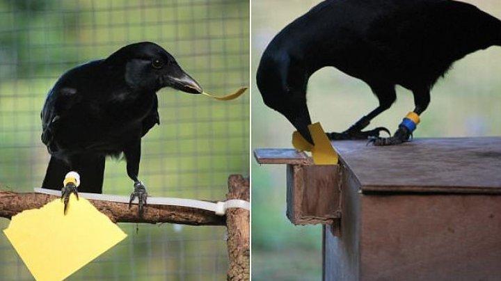 Вороны могут создавать инструменты по памяти