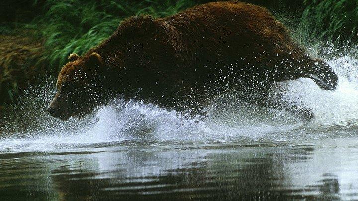 На Камчатке утонул рыбак, спасаясь от медведя