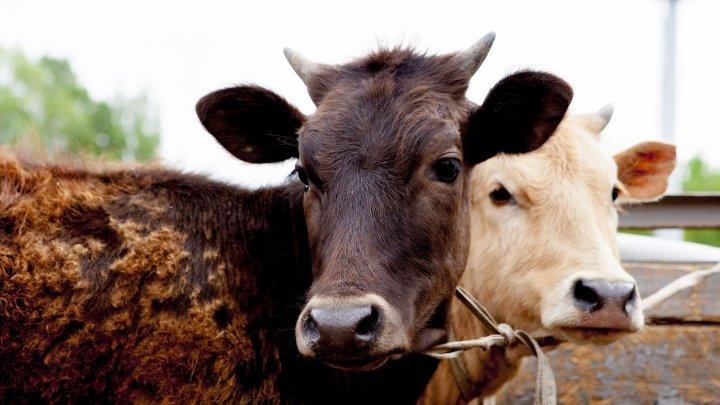 Стадо коров забодало троих детей в Башкирии