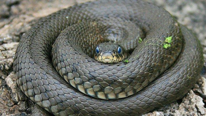 В Приморье нашли змею, завязанную в узел: фото