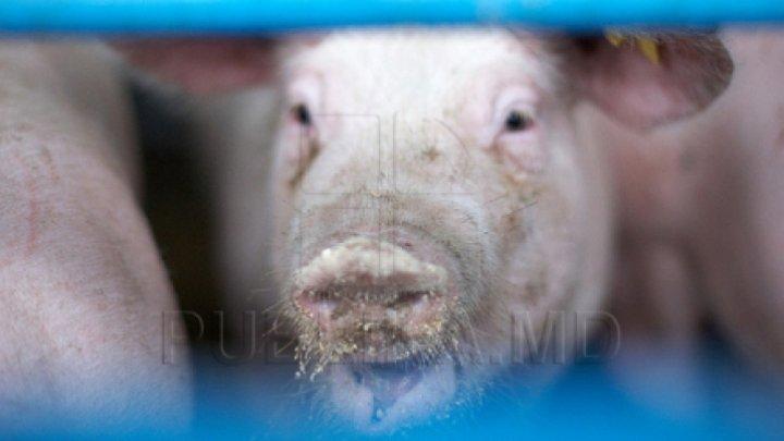В километре от Вулканешт на обочине дороги нашли двух мертвых свиней