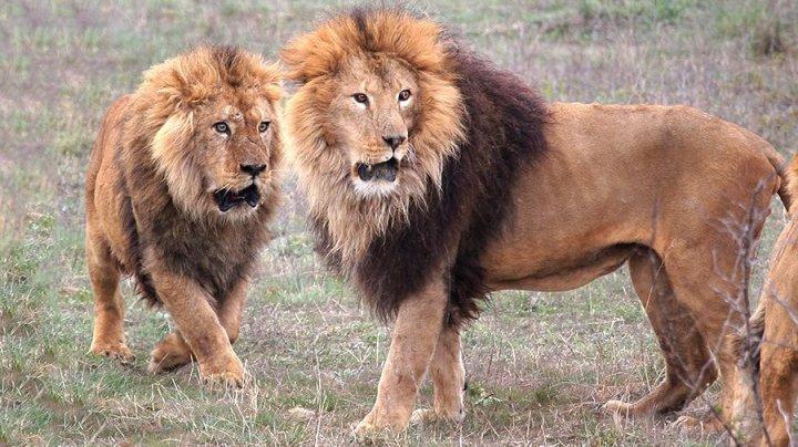 В ЮАР львы растерзали охотившихся за носорогами браконьеров