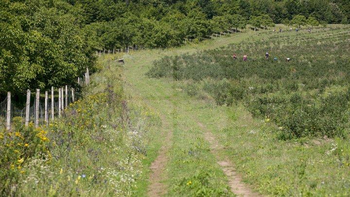 На единственной в стране плантации голубики начали сбор урожая: фоторепортаж