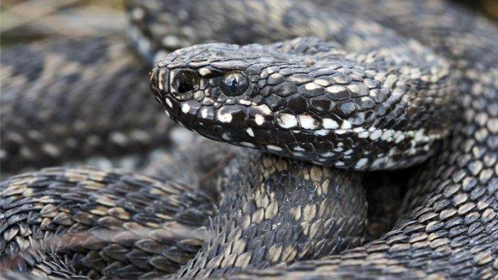 В Техасе засняли редкую гремучую змею