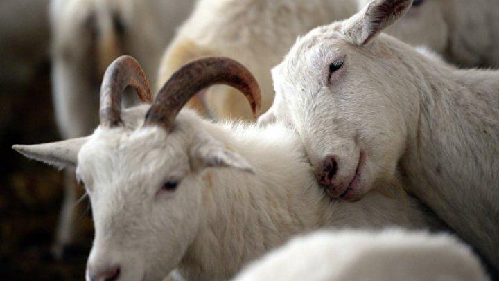 Турецкий футбольный клуб продал 18 игроков ради коз