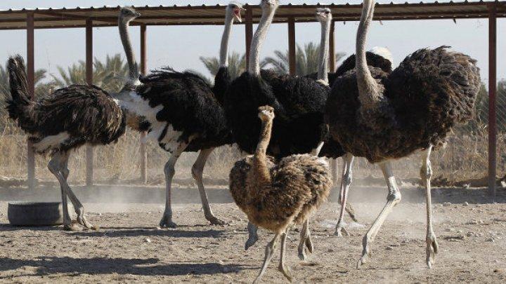 Видео: Агрессивный страус набросился на работника зоопарка