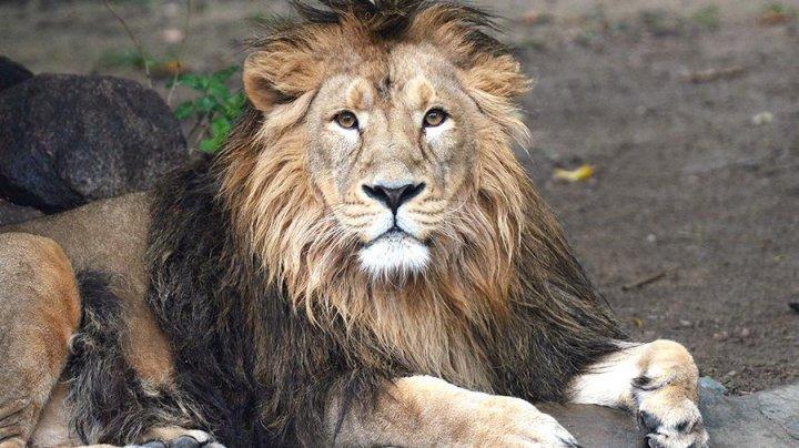 Лев набросился на работника зоопарка в Уфе
