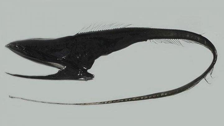 Необычную рыбу-пеликана с огромным ртом обнаружили на Гавайях