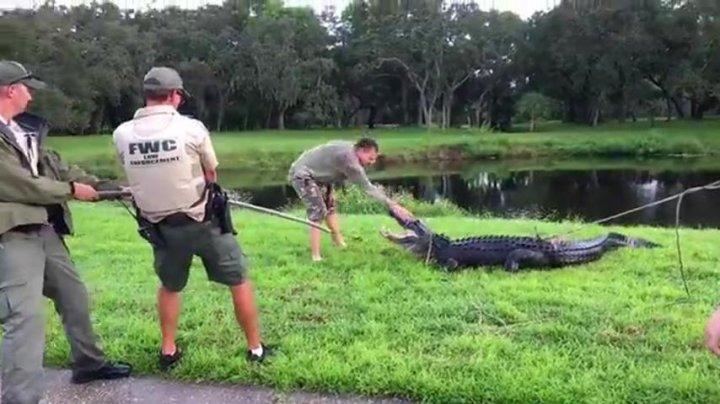 Американец залез в пруд к аллигаторам и выжил