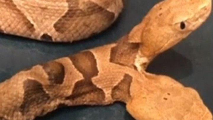 В США обнаружили двуглавую змею