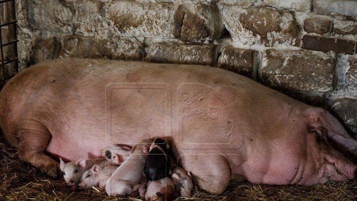 Карантин в Парканах: у свиней нашли инфекционное заболевание