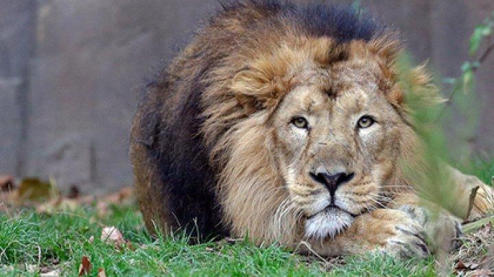Сразу 11 редких львов погибли при странных обстоятельствах в Индии