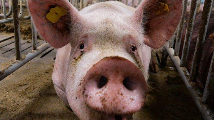 Свинья загрызла фермера подороге нарынок