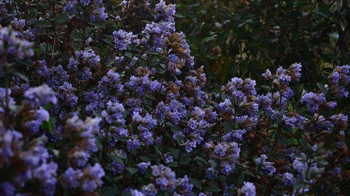 В Индии распустились цветы, цветущие один раз в 12 лет