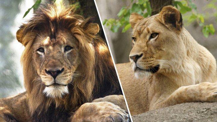 Львица задушила партнёра, с которым прожила восемь лет