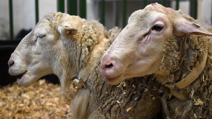 Около 150 овец погибло в Одесской области из-за проблем на границе