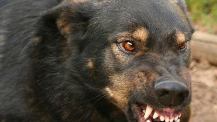 Стая разъярённых собак три раза атаковала 7-летнего мальчика в Дрокии (фото)